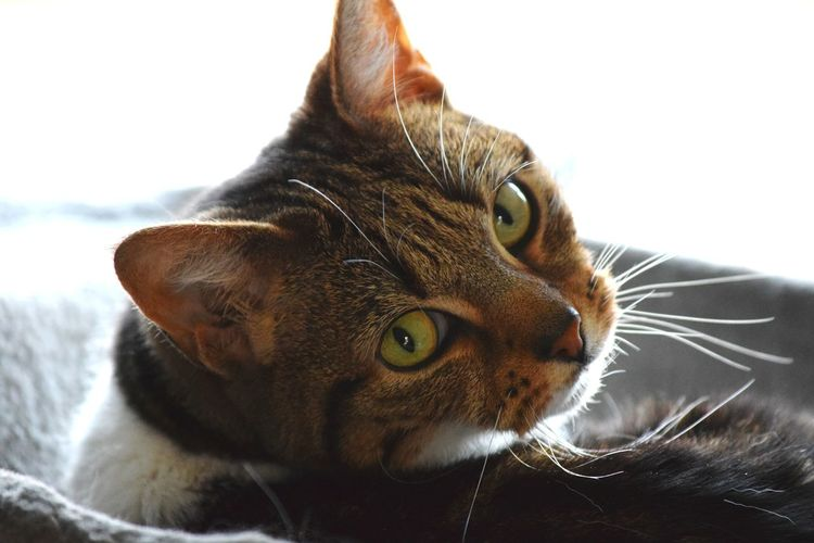 Tier the Tabby cat 🐱 Tabby Cat Cat One Animal High Exposure Exposure Indoors  White Background Brown Eyes Feline Portraits Petography Pets
