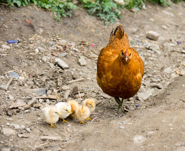 Agriculture Animal Themes Baby Chicken Bird Chicken - Bird Close-up Day Domestic Animals Female Animal Field Hen Livestock Nature No People Outdoors Poultry Rooster Young Animal Young Bird