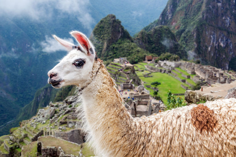 Side view of llama at machu picchu