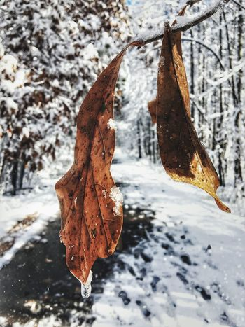 Two Time Cold Temperature Snow Winter Nature Weather Leaf Frozen Beauty In Nature No People Outdoors Close-up Day Hanging