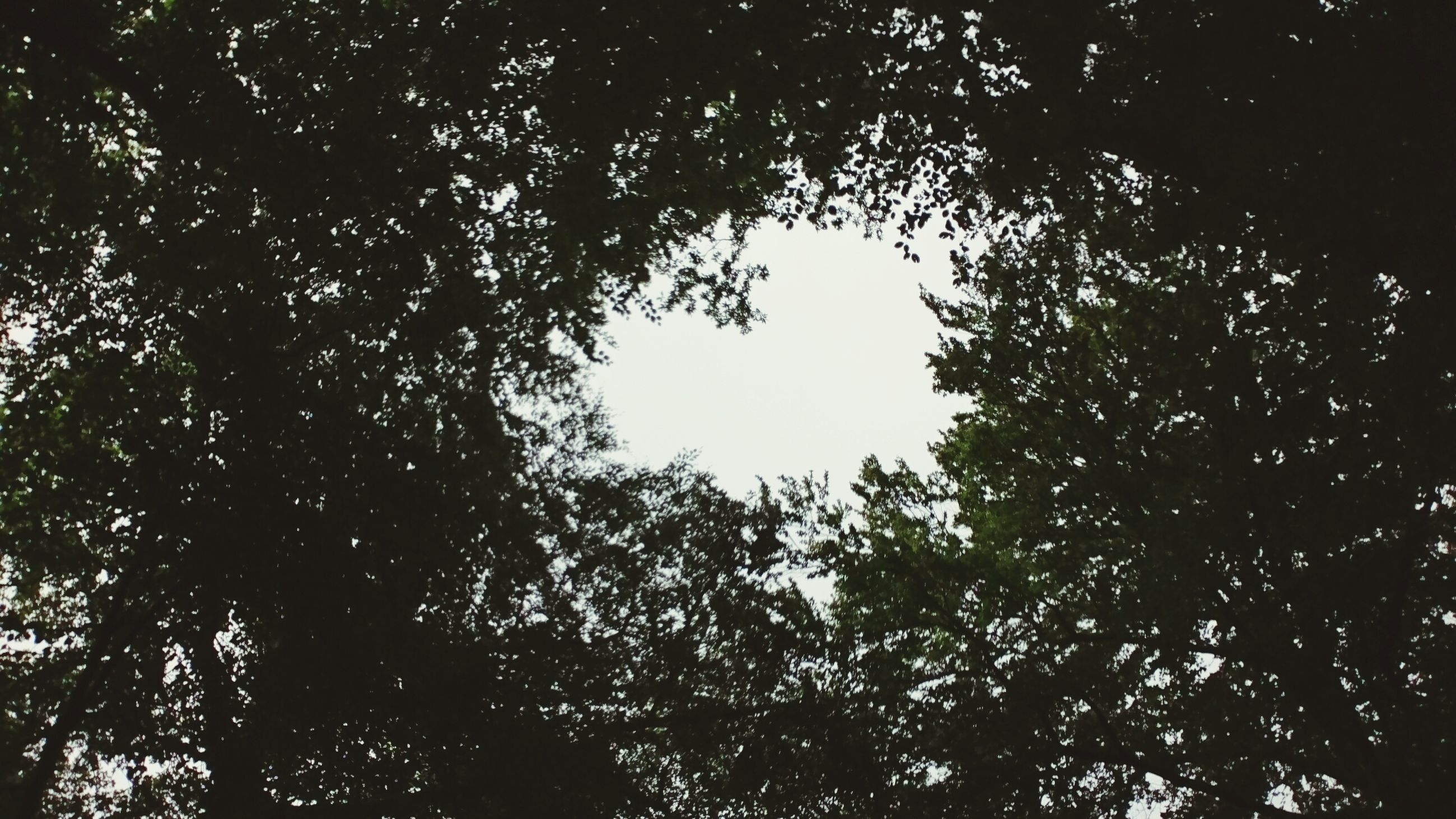 tree, low angle view, silhouette, growth, branch, tranquility, nature, outline, clear sky, tranquil scene, scenics, beauty in nature, day, sky, outdoors, non-urban scene, lush foliage, treetop, solitude, high section, no people, green color