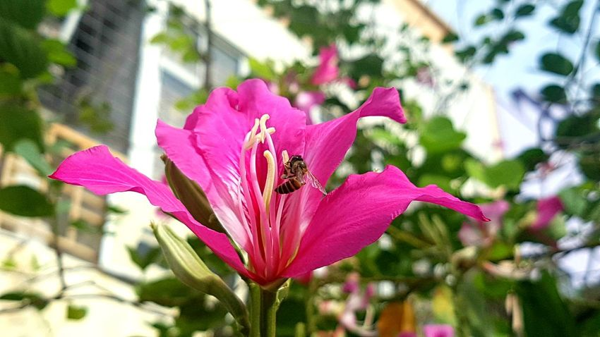 Insect Flying Flower Head Flower Pollination Insect Pink Color Petal Bee Close-up Plant Buzzing Blooming In Bloom Honey Bee Hibiscus Single Flower Stamen Bumblebee