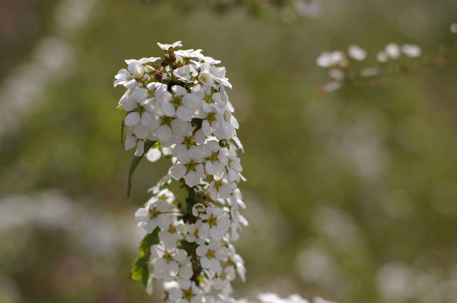 雪柳 Thunberg Spirea Flowers Tokyo 単焦点レンズ 50mm