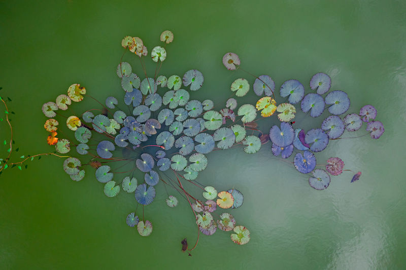High angle view of water lilies floating on lake