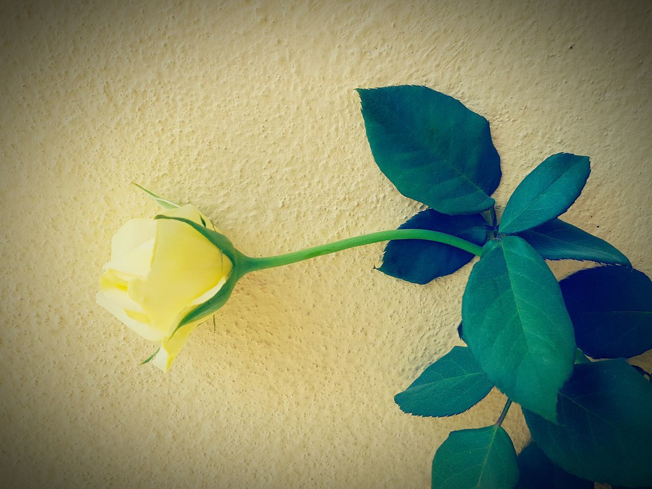 Close-Up Of Yellow Rose Blooming Against Wall