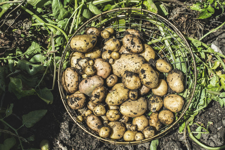 High angle view of raw potatoes in basket at farm