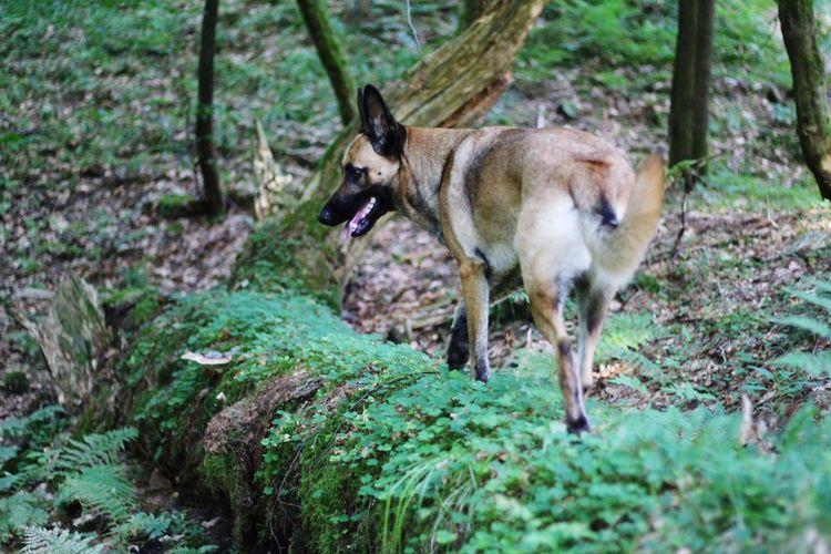 Malinois Malinois Dog Dogs Of EyeEm Dog Belgian Shepherd Belgian Malinois Tree Full Length Standing Grass
