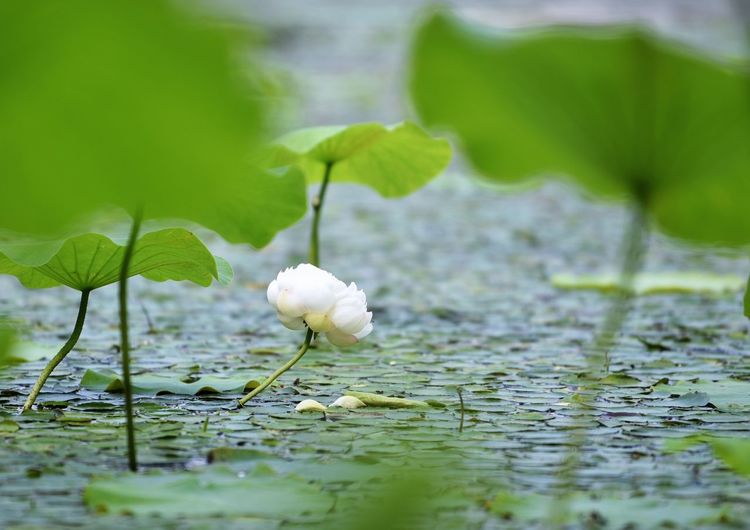 Plant Leaf Beauty In Nature Plant Part Growth Vulnerability  Nature Fragility Flower Close-up Water No People Selective Focus Green Color Flowering Plant Day Freshness Lake White Color Flower Head