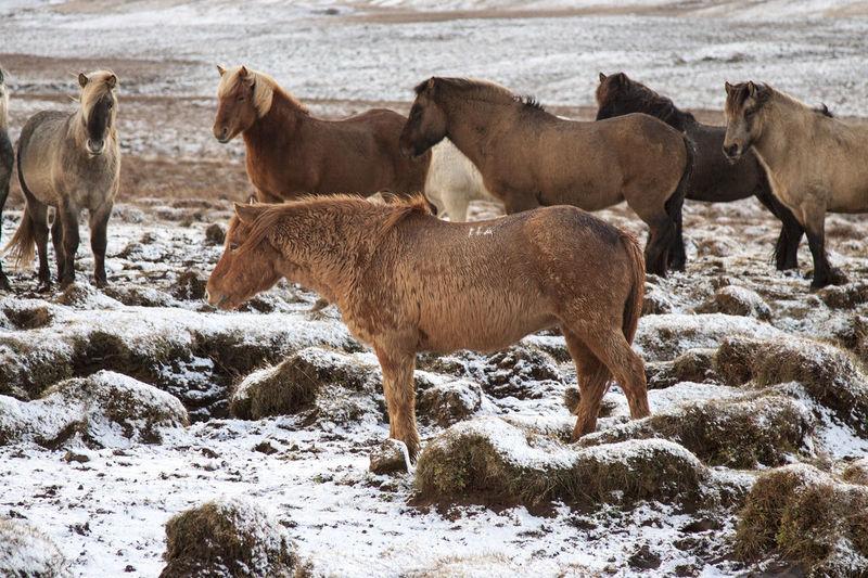Animal Animal Themes Animal Wildlife Animals Horse Life Horse Photography  Horses Icelandic Animal Icelandic Horse Nature No People Outdoors Standing
