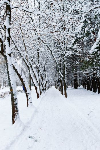 Alley Of Trees Snow Tree Winter Cold Temperature Nature Snowing No People Beauty In Nature Landscape Branch Outdoors Day Beauty In Nature Forest Photography Winter Forest Photography Trees Covered With Snow Scenics Nature Sky Tree Tree Trunk Birch Trees