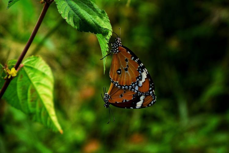 Butterflies mating on green leaves with beautiful nature blurry and lover concept. Beautiful Couple Green Life Love Mating Nature Orange Relationship Wildlife & Nature Animal Background Butterfly Colorful Environment Forest Garden Leaves Motion Outdoors Pattern Season  Sweet Wildlife Wings