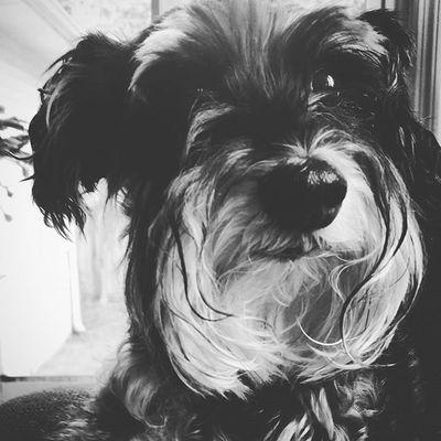 My whole ♡ Ig_dogs Schnauzer Minischnauzerlove MYheart Ptk_pets Ig_dogs Schnauzersofinstagram Dog_features Bestwoof Myfurbaby Ig_photooftheday Dogsofinstagram Mydogiscutest Dogstagram Theschnauzerworld