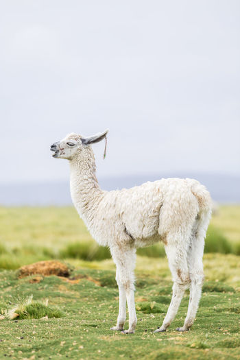 One white llama in the Bolivian Altiplano Bolivia Chile Peru Travel Alpaca Altiplano Animal Themes Day Domestic Animals Explore Field Focus On Foreground Full Length Grass Livestock Llama Llamas Mammal Nature No People One Animal Outdoors Sky Standing Wool
