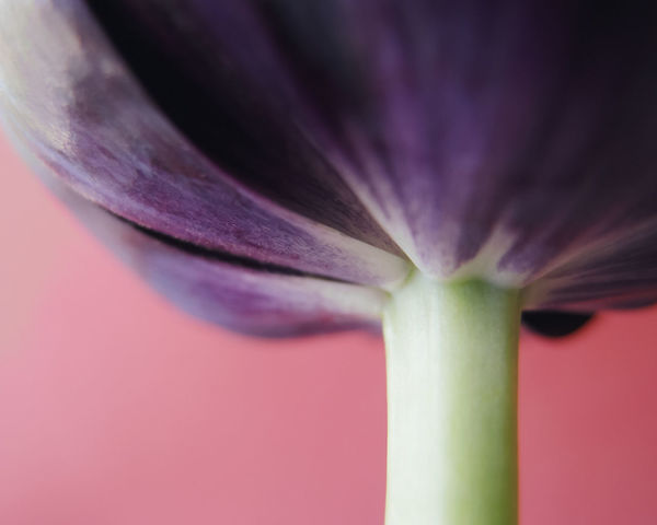 Tulip Beauty In Nature Botanical Close-up Day Details Flower Fragility Freshness Macro No People Petals Plant Purple Stem Studio Shot Texture Tulip Tulips Flowers EyeEmNewHere