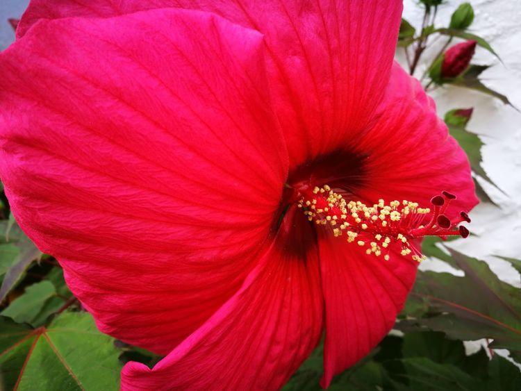 Sommermalve Hibiscus