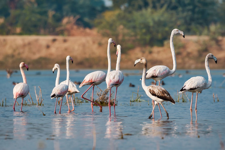 Lesser flamingos Animals In The Wild Animal Wildlife Group Of Animals Animal Themes Water Vertebrate Animal Bird Day Lake Nature Flamingo No People Large Group Of Animals Beauty In Nature Focus On Foreground Waterfront Land Outdoors Flock Of Birds Freshwater Bird