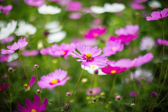 Flower Nature Fragility Beauty In Nature Freshness Petal Growth Flower Head Plant Blooming No People Day Purple Close-up Outdoors Cosmos Flower MaeTang Chiang Mai | Thailand