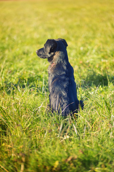 Black dog waiting Alertness Animal Themes Day Dog Dog Back View Dog Waiting Domestic Animals Field Grass Mammal Nature No People One Animal Outdoors Pets Rear Dog Sitting Sitting Dog