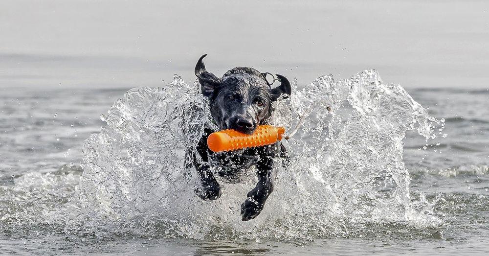 Labrador Animal Themes Black Color Canine Dog Domestic Domestic Animals Motion Nature No People Pets Running Sea Splashing Vertebrate Water