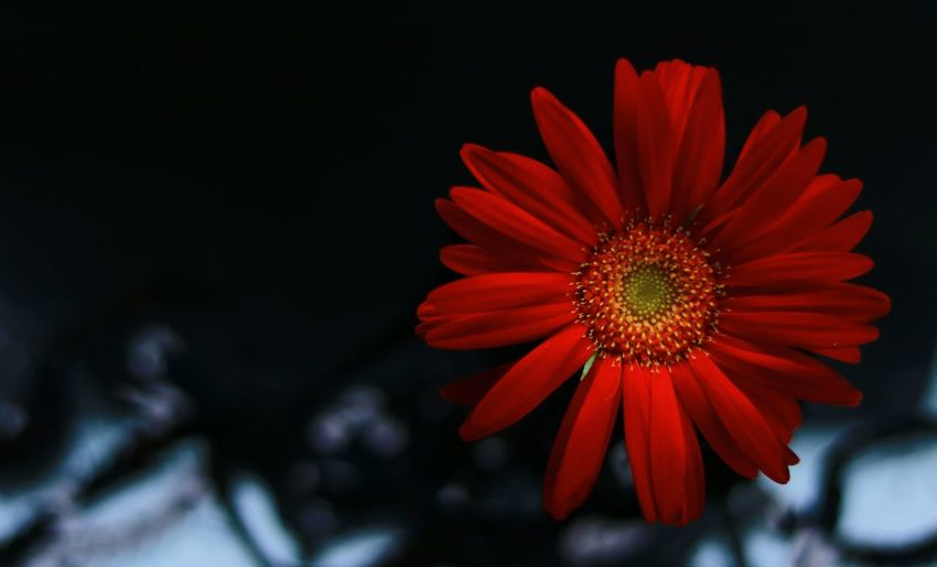 Close-up of red gerbera daisy against black background