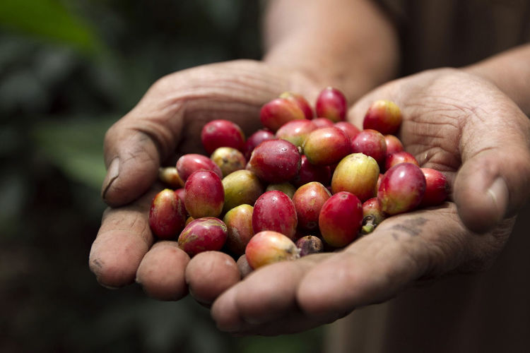 Farmers picking coffee cherries in a coffee plantation in Merapi Volcano, Yogyakarta, Indonesia. Coffee of the Merapi volcano has a special flavor of soft. Close-up Cropped Focus On Foreground Food Food And Drink Freshness Fruit Healthy Eating Holding Human Finger Lifestyles Part Of Person Red Ripe Selective Focus Unrecognizable Person Fresh On Market April 2016 Fresh On Market 2016
