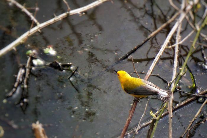Warbling (or something like that). Prothonatary Warbler  Soaking Up The Sun Bird Photography Birdwatching EyeEm Birds Sony A6000