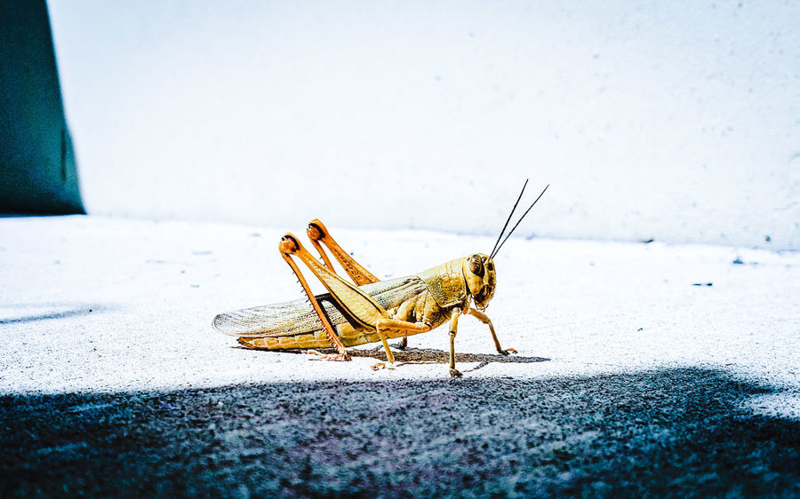 One Animal Animal Themes Insect Animals In The Wild Wildlife Grasshopper Day Outdoors No People Zoology Cinematic Photography