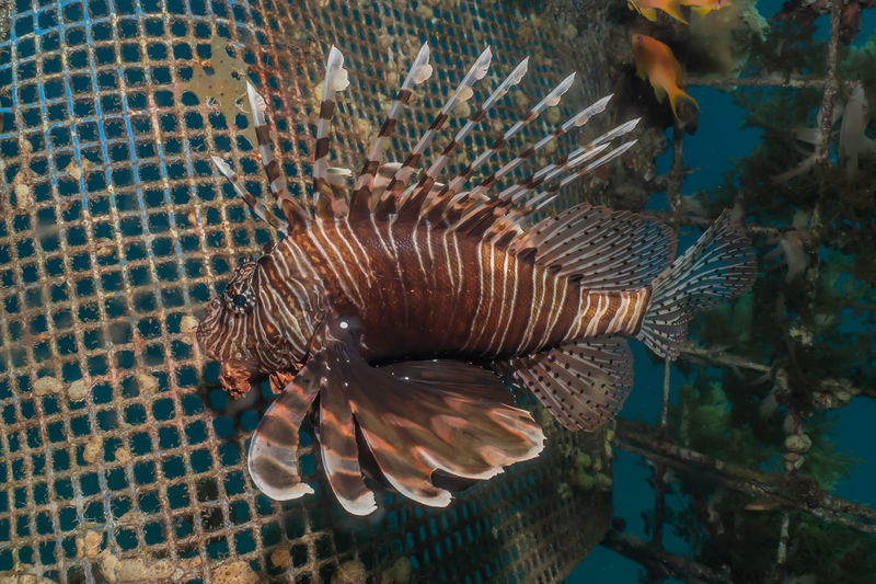 Lion fish in the Red Sea colorful fish, Eilat Israel Animal Animal Themes Animal Wildlife Animals In The Wild One Animal Vertebrate Nature No People Swimming Sea Fish Water Close-up Day Transparent Sea Life Animals In Captivity Underwater Beauty In Nature Marine