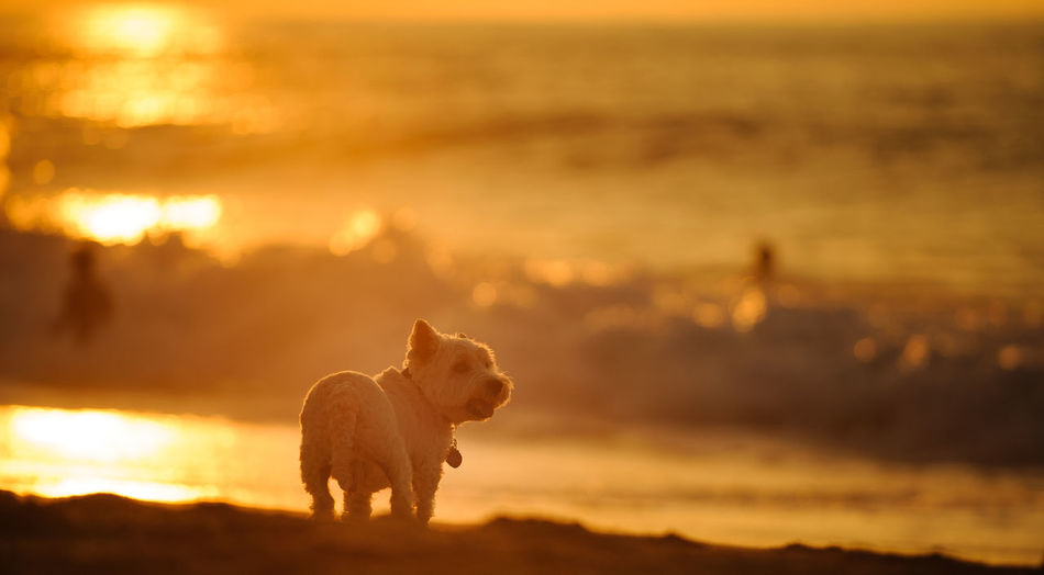 West Highland White Terrier dog outdoor portrait No People Canine Dog One Animal Animal Themes Domestic Animals Pets Animal Nature West Highland White Terrier Westie West Highland Terrier Outdoors White Dog Purebred Dog Sunset Orange Color Beauty In Nature Scenics - Nature Sunlight