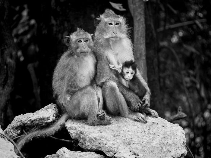 Monkey Blackandwhite Thailand Family Koh Chang