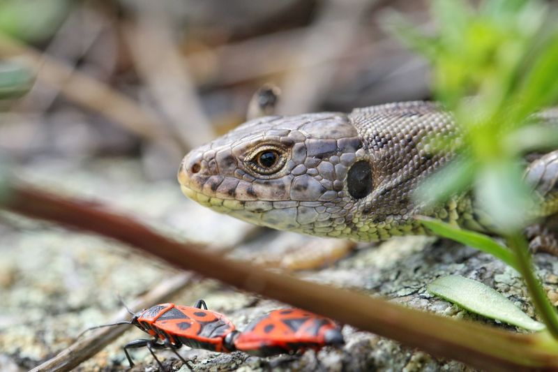 """Outtake!"" Reptile Reptilien Echsen Zauneidechse Lizzard Feuerwanze Outtakes Insect Macro Macro_collection Makro Nature Natur Wildlife & Nature Portrait Animals Animal Themes Michael Hruschka Close-up Insekten Insects  Tiere Snapshot Perfect Moment EyeEm Best Shots"