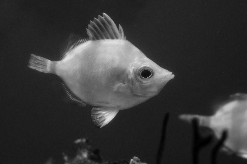 Aquarium Aquarium Life Black & White Black And White Blackandwhite Blackandwhite Photography Bnw Close-up Eye4photography  EyeEm Best Shots EyeEmBestPics Fish Fish Photography Fishes Minimalism Minimalist Minimalobsession