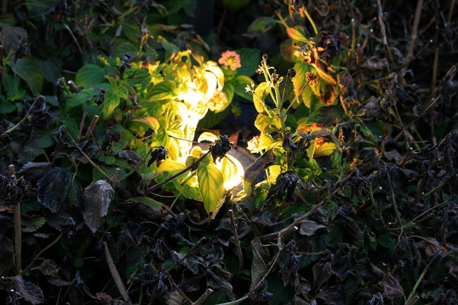 January 2017 Tuscany Castagneto Carducci Close-up Illuminated Italy Leaf Light Spot Night No People Outdoors Plant Vegetation
