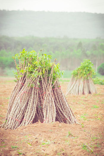 Agriculture Cassava Cassava Farm Day Environment Field Focus On Foreground Food Food And Drink Grass Green Color Growth Land Landscape Leaf Nature No People Outdoors Plant Plant Part Rural Scene Tree