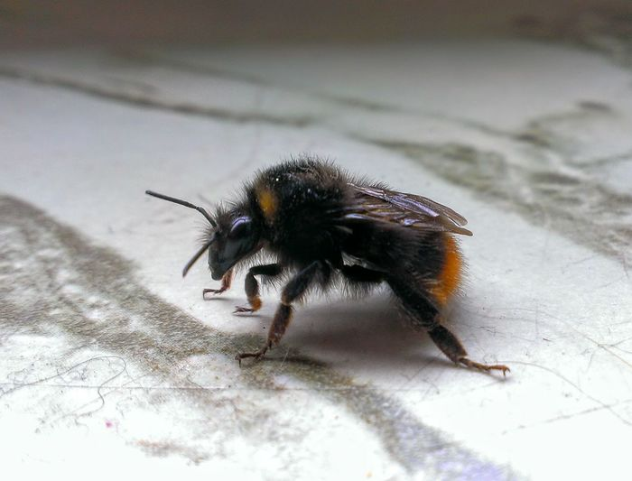 Close-up of bumblebee on table