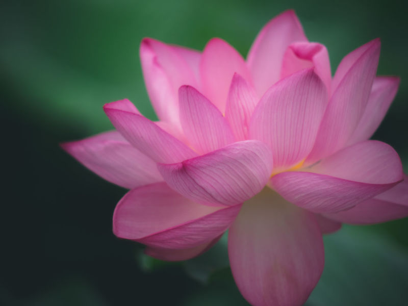 Lotus Flower Lotus Vscofilm