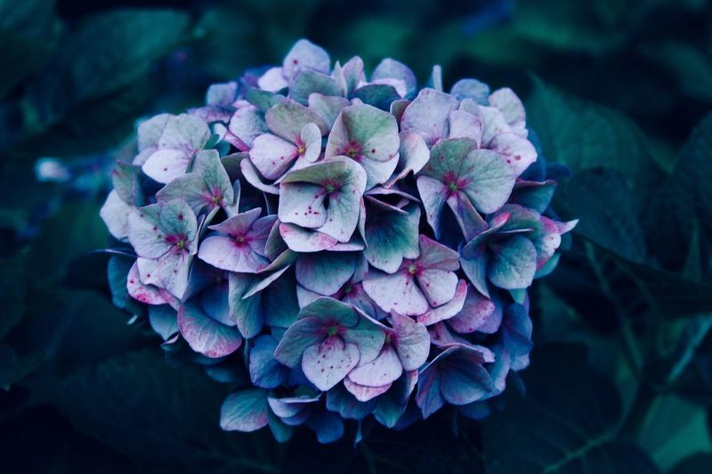 Close-Up Of Fresh Purple Hydrangeas