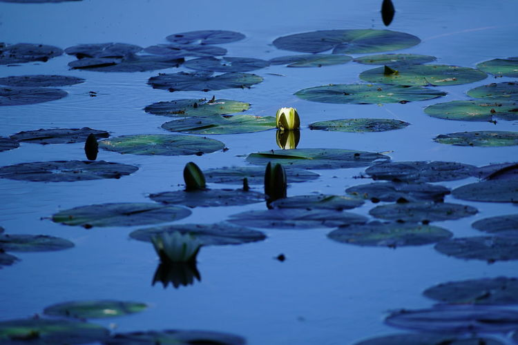 Water lily in shadow and sunlight