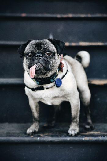 Portrait of pug on steps