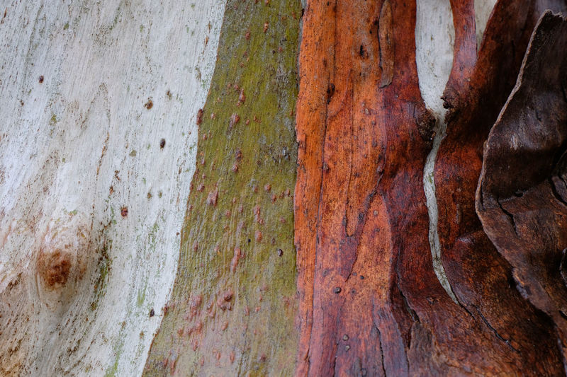 Wet Victoria Australia Eucalyptus Tree Trunk Tree Trunk Close-up No People Wood - Material Day Nature Outdoors Eucalyptus Viminalis Manna Gum Mount Alexander Misty Morning Mist Winter Colored Detail Twisted Green And Red Red Natural Beauty In Nature Strips Pattern