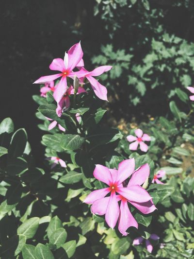 Flower Pink Color Growth Periwinkle Petal Fragility Blooming Flower Head Plant Beauty In Nature Nature No People Freshness Leaf Day Focus On Foreground Outdoors Close-up