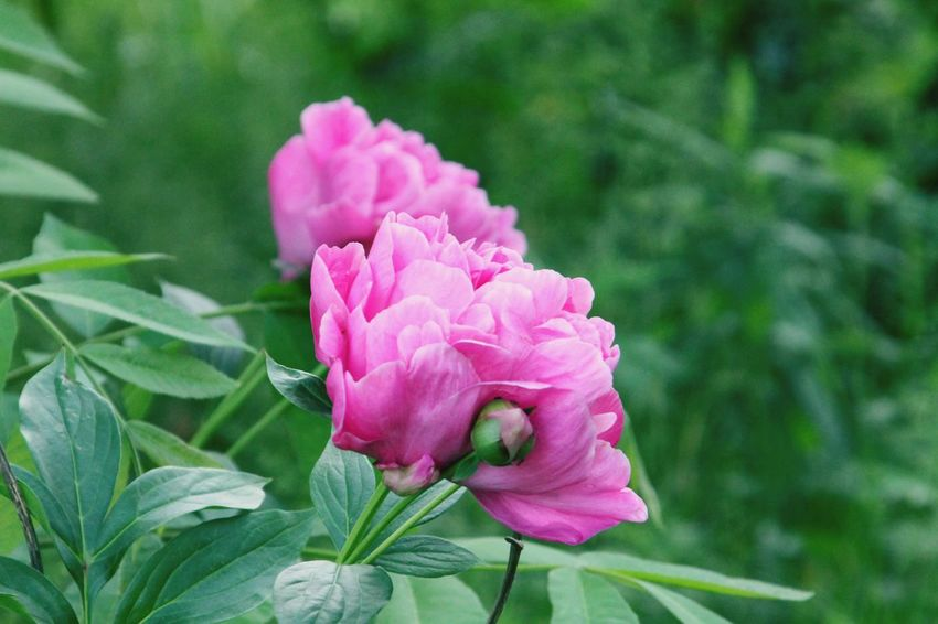 Pink peony Flower Head Flower Pink Color Leaf Petal Close-up Plant Peony  Flowering Plant In Bloom Plant Life Blooming Botany Pale Pink Blossom Botanical Garden