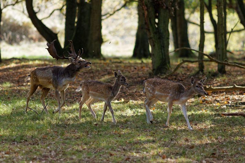 IN THE MOOD - Rut bugling Buck Testosterone Rut Bugling Animal Animals In The Wild Animal Themes Animal Wildlife Group Of Animals Tree Plant Deer Outdoors