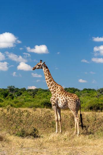 Giraffe standing on field against blue sky