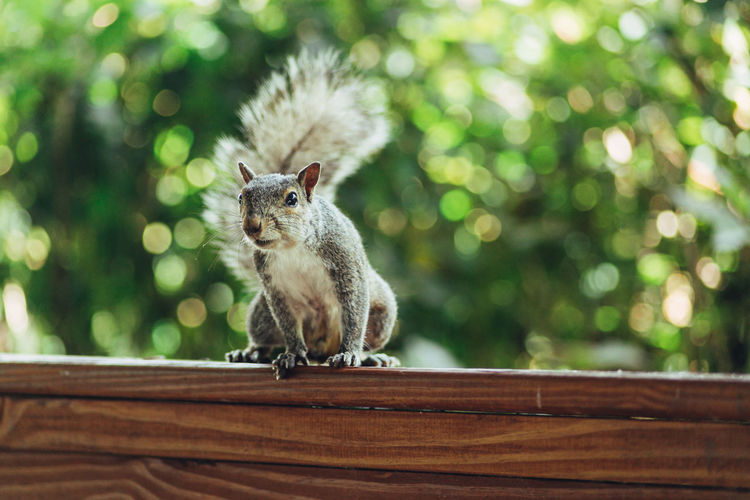Portrait of squirrel sitting on wood