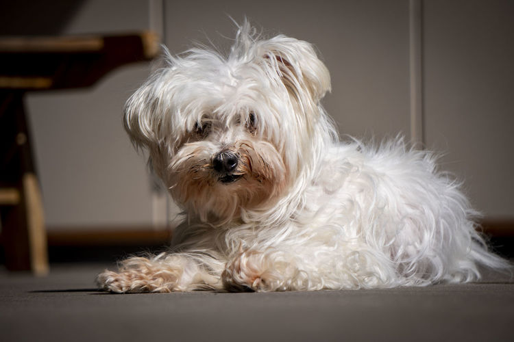 a white Maltese dog Canine Dog One Animal Domestic Animal Themes Pets Mammal Domestic Animals Animal Indoors  Hair West Highland White Terrier Animal Hair White Color Portrait Small Looking At Camera Cute No People Animal Body Part Hairstyle Animal Head