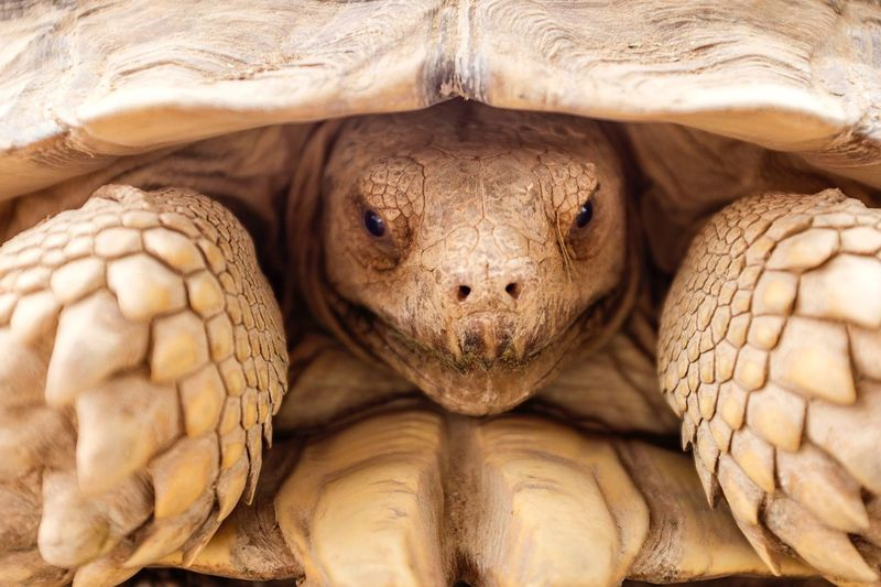 Looking At Camera Animal Themes One Animal Close-up Reptile Portrait Animals In The Wild Tortoise Animal Wildlife Tortoise Shell Outdoors Nature