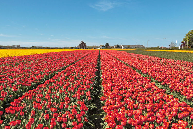 Agriculture Beautifully Organized Field Fields Flower Flowers Holland Nature Red Red Tulips Tulips