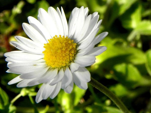 Flower Fragility Nature Beauty In Nature White Color Flower Head Freshness Petal Growth Close-up Plant Outdoors Blooming No People Day Daisy Daisy Flower Daisy Close Up Marguerite