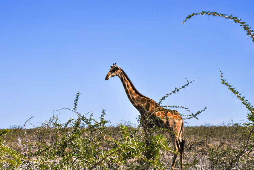 Animal Themes Animal Wildlife Animals In The Wild Blue Clear Sky Day Full Length Giraffe Low Angle View Mammal Nature No People One Animal Outdoors Sky Standing Tree